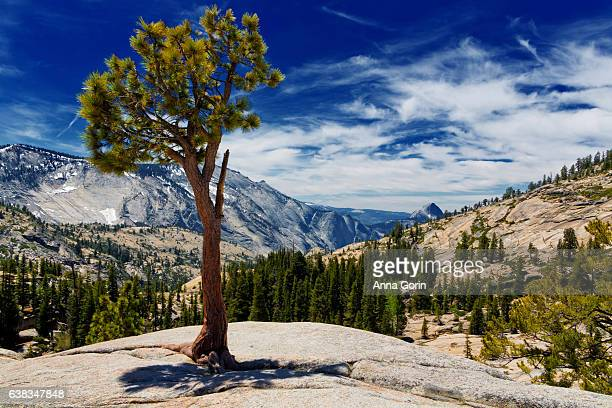 lone tree looking over scenic valley vista from olmsted point, summer afternoon in yosemite national park - yosemite valley stock photos and pictures