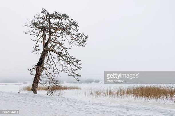 Lone tree near Abant Lake in winter Bolu Turkey