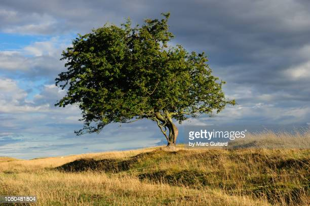 a lone tree, northumberland coast path, northumberland, england - single tree stock pictures, royalty-free photos & images
