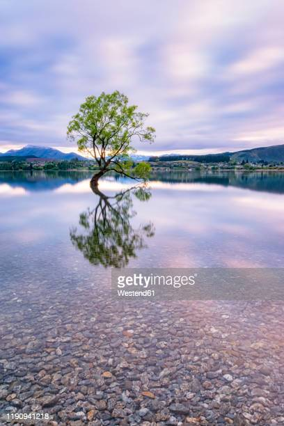 lone tree of lake wanaka against cloudy sky during sunset, south island, new zealand - eén boom stockfoto's en -beelden