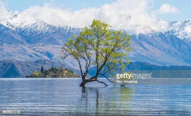 lone tree of lake wanaka in spring season of south island, new zealand. - international landmark stock pictures, royalty-free photos & images
