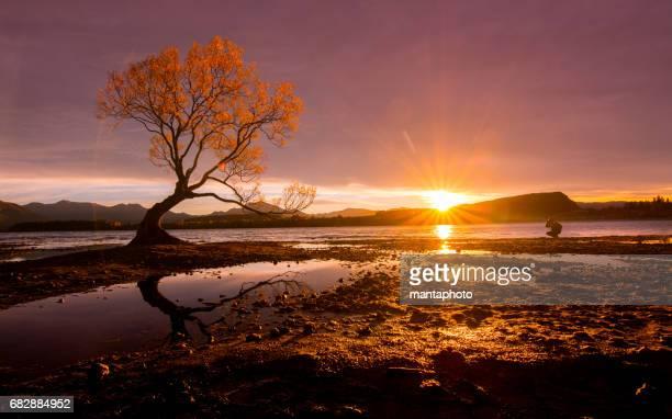 árvore solitária de lago wanaka - wanaka - fotografias e filmes do acervo