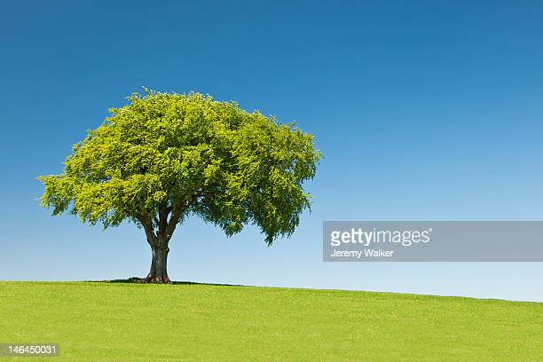 Lone tree on hill, Summer