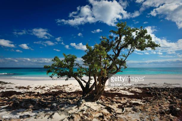 A lone tree on Pink Sands Beach, Harbour Island, Eleuthera, Bahamas