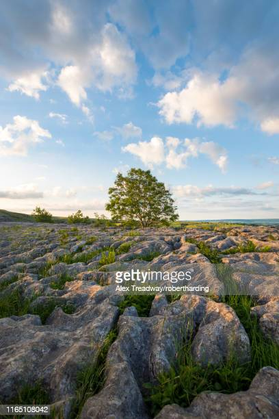 a lone tree on the limestone pavement at malham cove in the yorkshire dales national park, yorkshire, england, united kingdom, europe - limestone pavement stock pictures, royalty-free photos & images