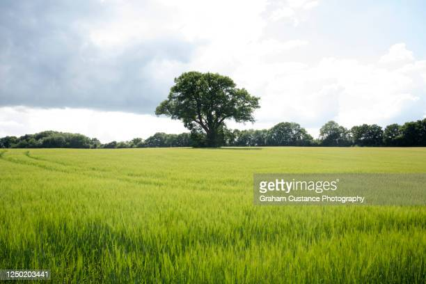 lone tree - landscape stock pictures, royalty-free photos & images