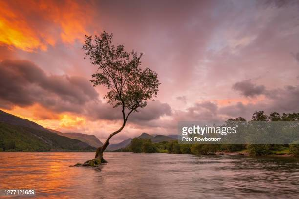 lone tree sunrise - lake stock pictures, royalty-free photos & images