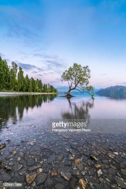 lone tree, wanaka, new zealand. - region otago stock-fotos und bilder