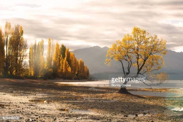 lone willow tree and a poplar tree lined lake wanaka in autumn - wanaka - fotografias e filmes do acervo