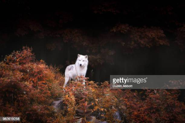 lone wolf - dustin abbott stock pictures, royalty-free photos & images