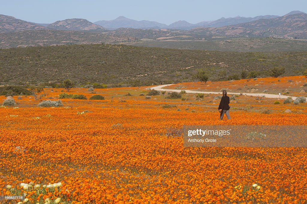 A lone woman walks through a large field of orange Namaqualand Daisies (Dimorphotheca spp) looking out towards the Kamiesberg mountains, South Africa : Stock-Foto