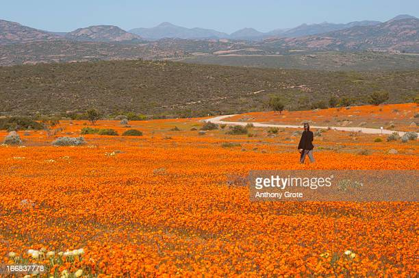 a lone woman walks through a large field of orange namaqualand daisies (dimorphotheca spp) looking out towards the kamiesberg mountains, south africa - ナマクワランド ストックフォトと画像