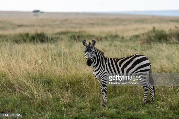 a lone zebra grazing in the plains of masai mara national reserve - zebra stock pictures, royalty-free photos & images