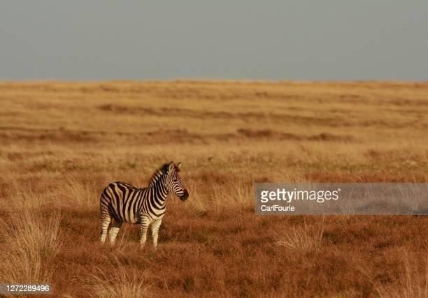 una zebra solitaria in una nelle savane del sudafrica - erbivoro foto e immagini stock