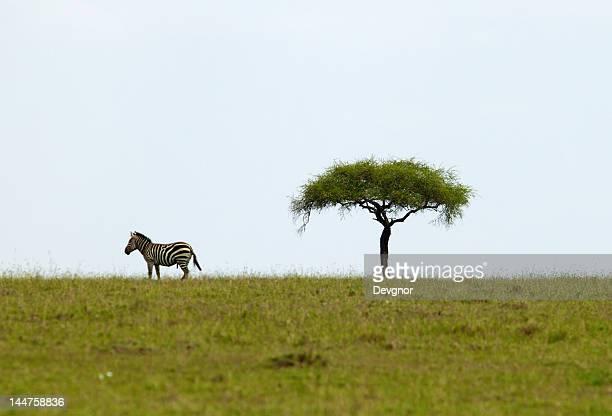 Lone Zebra on Savanna