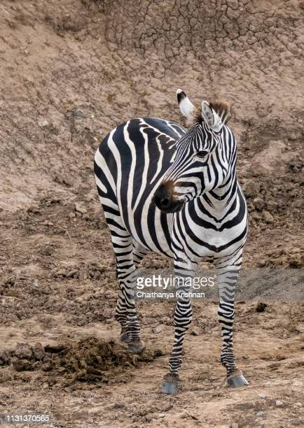 a lone zebra standing near a water hole in the plains of africa during a drive inside the park in masai mara national park - male animal stock pictures, royalty-free photos & images