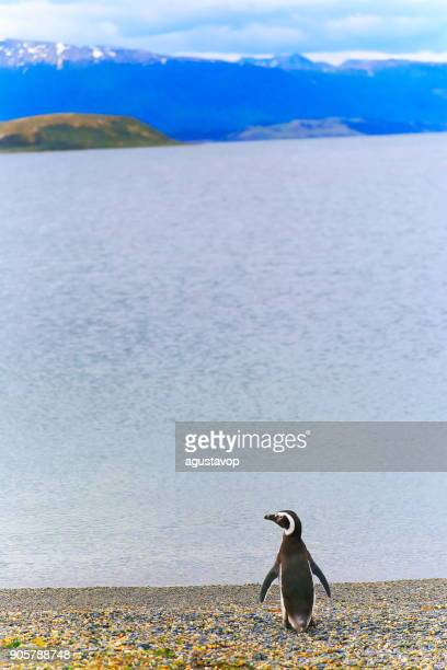 Eenzaamheid-een Ezelspinguïn wandelen langs op een afgelegen strand, Tierra Del fuego, Argentinië-Zuid-Amerika