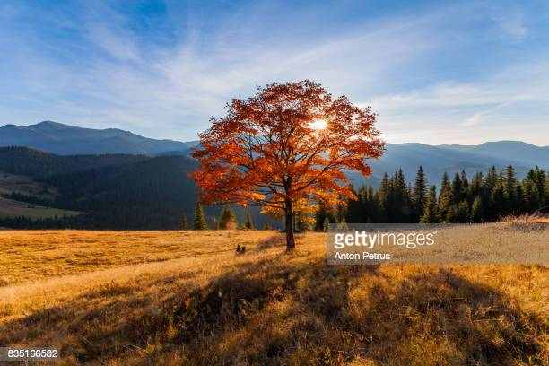 Lonely autumn tree in mountains at sunset