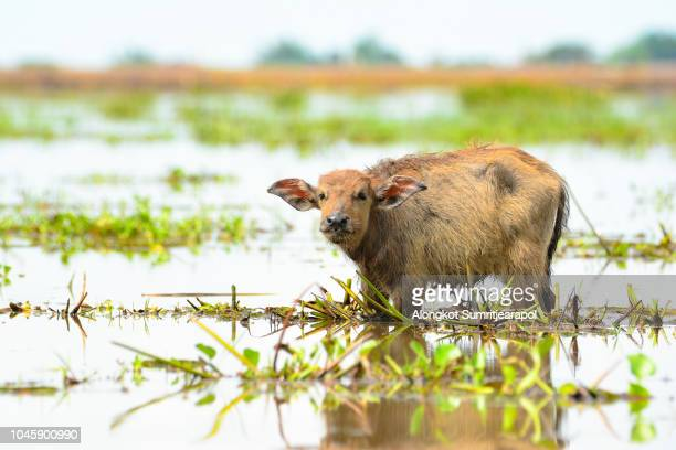 Lonely baby water buffalo in wetlands Thale Noi, one of the country's largest wetlands covering Phatthalung, Nakhon Si Thammarat and Songkhla ,South of THAILAND.