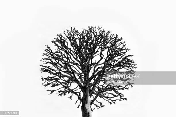 lonely bare tree on white background - bare tree stock pictures, royalty-free photos & images