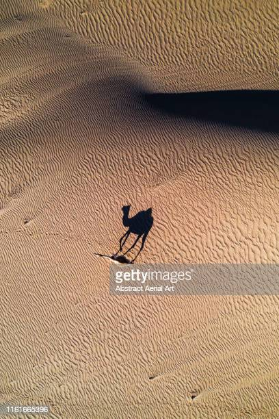 Lonely camel and its shadow in the desert, United Arab Emirates