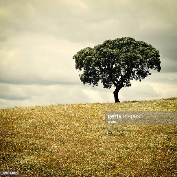 lonely cork tree in meadow with wildflowers, alentejo region ,portugal - cork tree stock photos and pictures