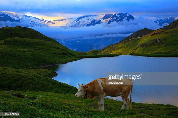 Lonely Cow, dramatic Sky and lake above Grindelwald: Swiss Alps