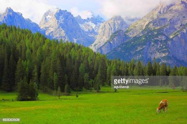 Lonely Cow grazing – livestock in Idyllic dramatic landscape: Mountains of Northern Italy Dolomites alps at sunrise, near Cortina d'Ampezzo