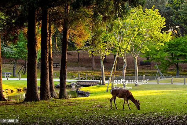 lonely deer - 奈良市 ストックフォトと画像