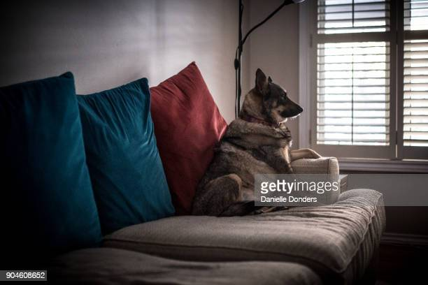"""lonely dog looking out the window - """"danielle donders"""" stock pictures, royalty-free photos & images"""