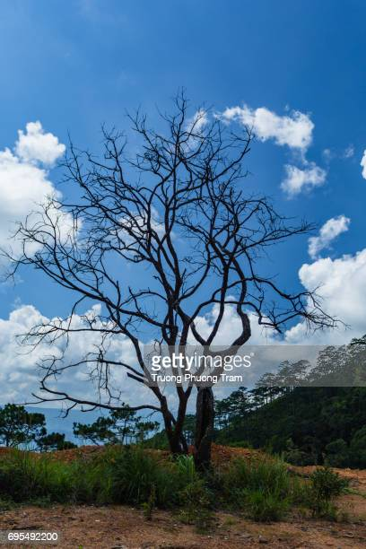A lonely dry tree on Pinhat Mountain, Da lat, Vietnam.