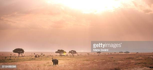 Lonely elephant at sunset, Serengeti National Park, Tanzania
