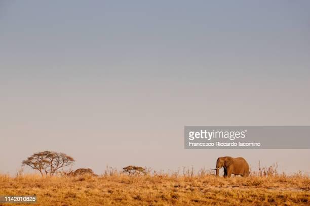 lonely elephant at the okavango delta - iacomino botswana foto e immagini stock