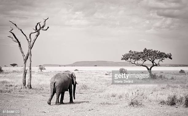 A lonely elephant in black and white - Serengeti national park, Tanzania