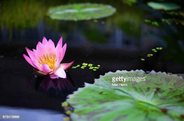 lonely flower - lily harris photos et images de collection