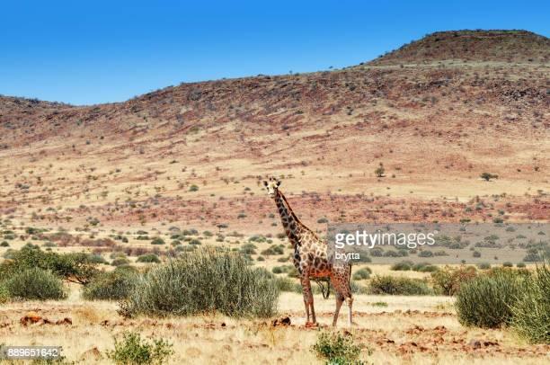 Lonely giraffe  in Damaraland ,Namibia