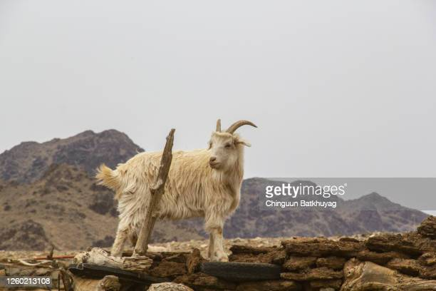 lonely goat - cashmere stock pictures, royalty-free photos & images