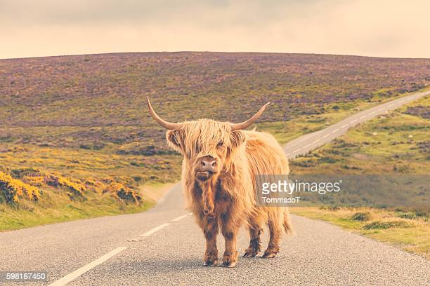 lonely highland cattle on a country road - bull animal stock photos and pictures