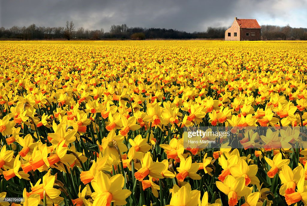 lonely house in flower field, just before the rain starts : Stock Photo