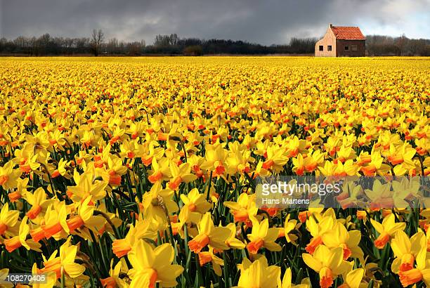 lonely house in flower field, just before the rain starts - daffodils stock photos and pictures