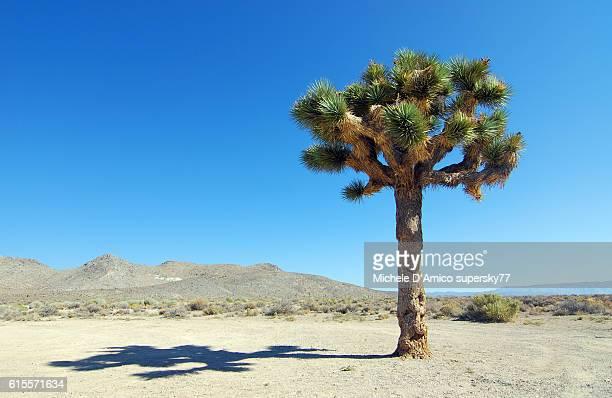Lonely Joshua tree in the Californian desert.