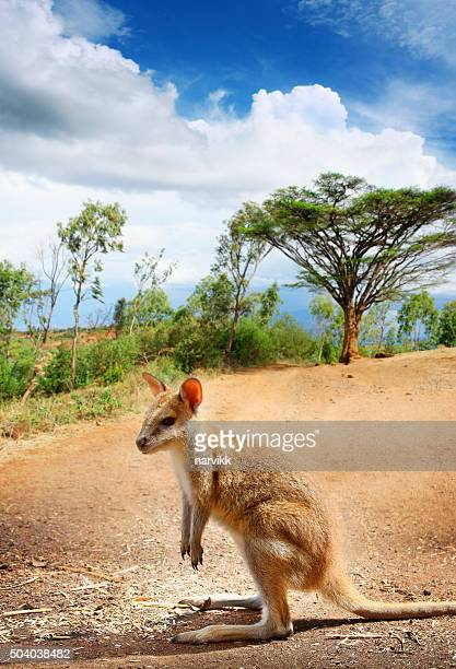 Lonely kangaroo on the road