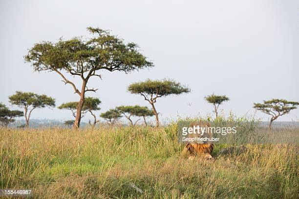 A lonely male lion in the Masai Mara Kenia