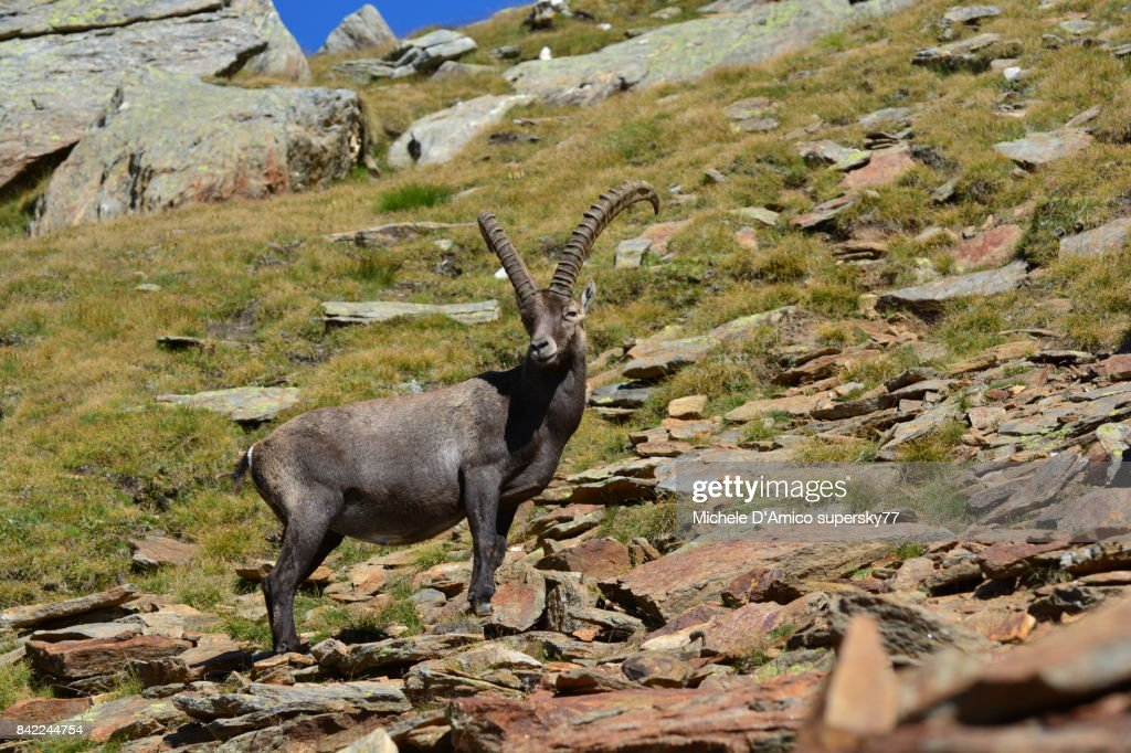 Lonely mighty male Alpine ibex : Stock Photo