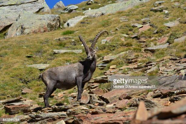 lonely mighty male alpine ibex - ibex ストックフォトと画像