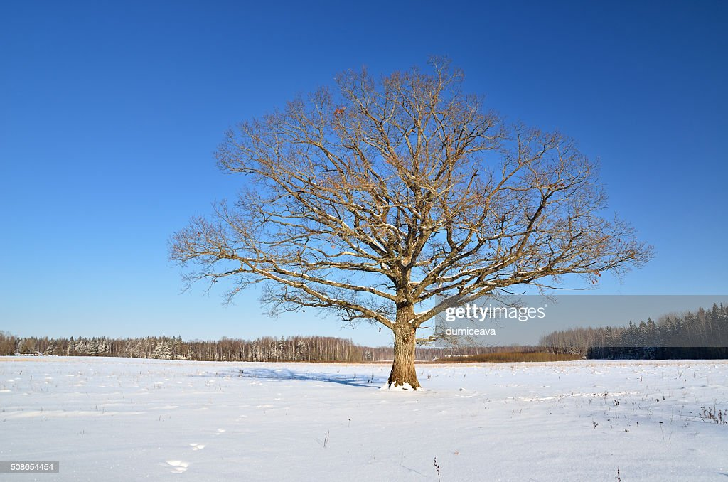 lonely oak tree in the field in winter : Stock Photo