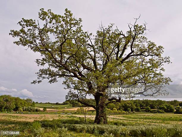lonely old tree - blacksburg stock pictures, royalty-free photos & images