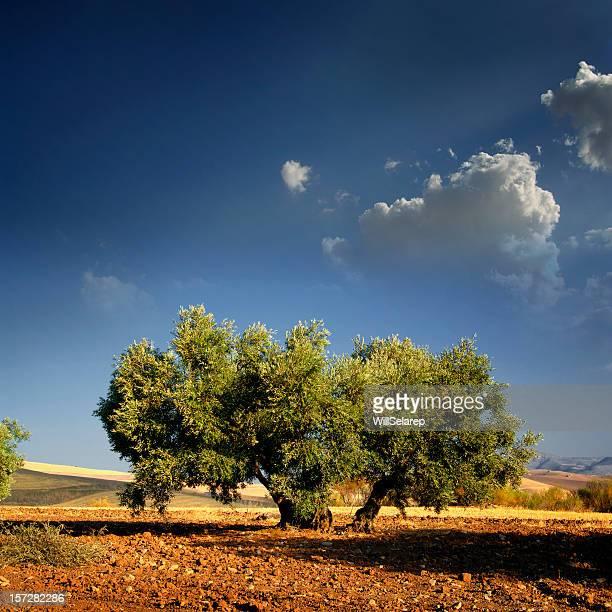 Solitária Árvore de azeite