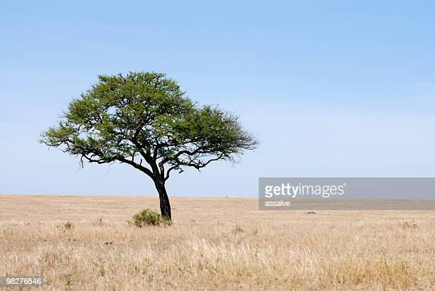 lonely un árbol en el serengeti plains