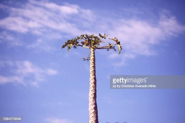 Lonely Papaya Tree